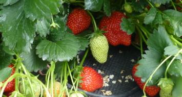jordbær 2 - nær foto Åge Jørgensen